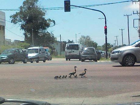 ¡Cuidado! cruce de patos en  Camino Centenario y 508