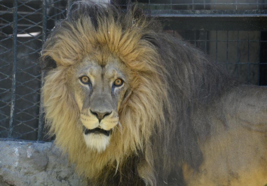 """""""Mansa"""", la leona del Bioparque, recibió a su hermano """"Melena"""" y ambos serán trasladados a EE UU"""