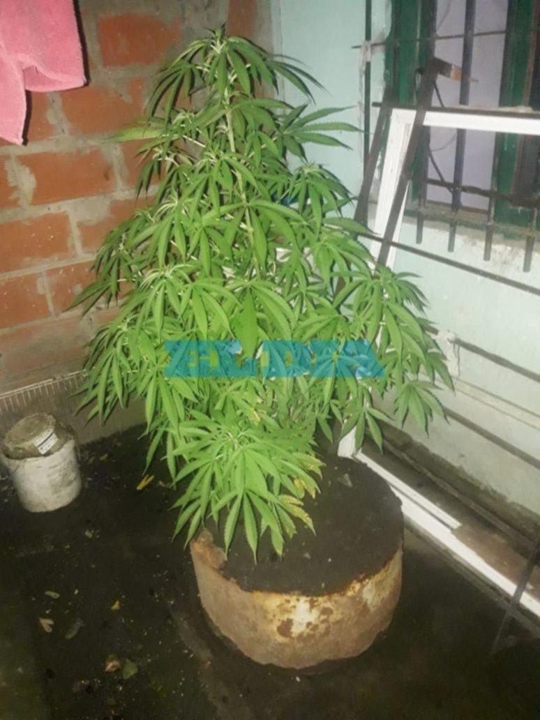 Tres detenidos, marihuana y cocaína fraccionada y 10 plantas de cannabisen un operativo antidrogas