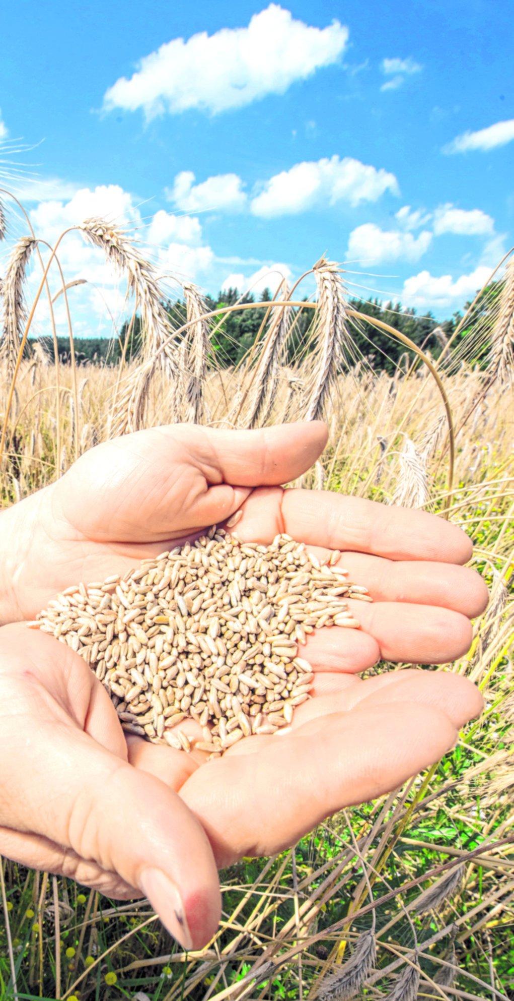 ¿Integral o no?: en cualquier variedad, los granos son fundamentales