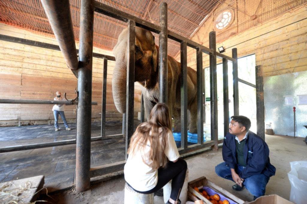 Un experto hindú evalúa a la elefanta Pelusa para saber si la llevan a Brasil