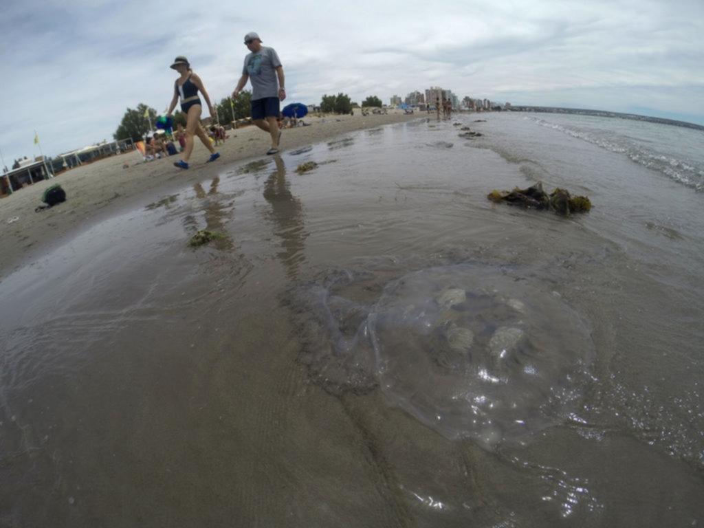 """Medusas gigantes, con """"brazos"""" de 4 metros, sorprendieron en Madryn"""
