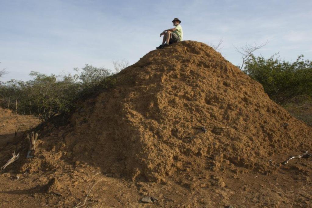 Hallaron un nido de termitas más grande que Gran Bretaña