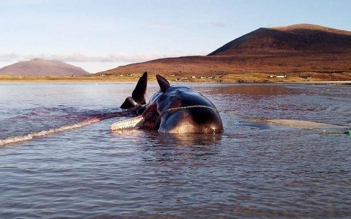 Encuentran una ballena muerta con 100 kilos de basura en el estómago
