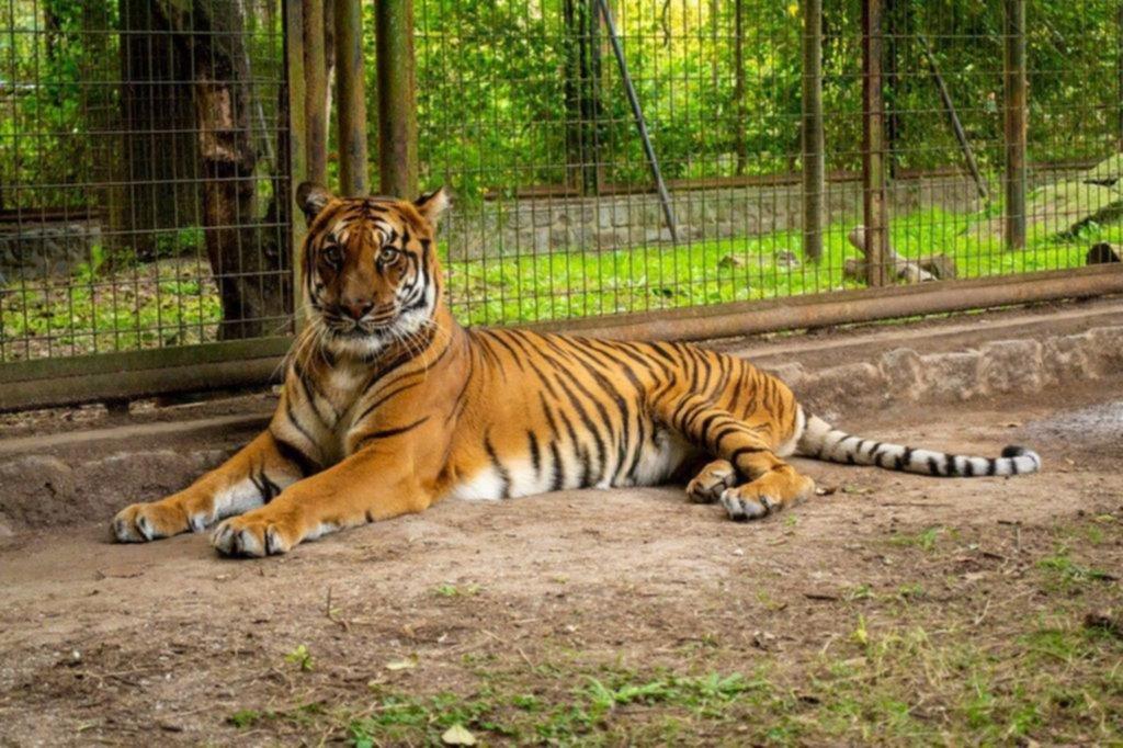 Un animal emblemático deja el ex Zoo platense: la tigresa viaja hoy a Sudáfrica