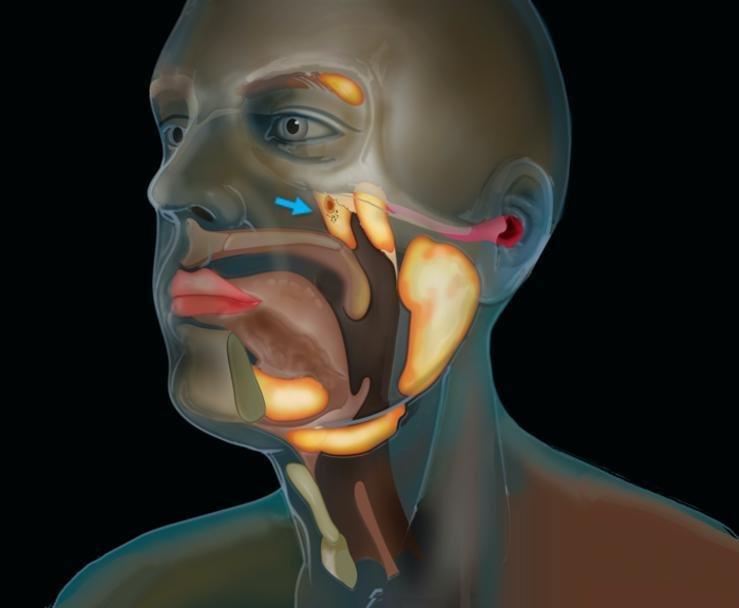 Un órgano más en la cabeza: lo hallaron accidentalmente y ya están estudiándolo