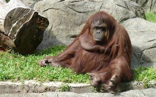 La orangutana Sandra llegó a Estados Unidos para vivir el resto de su vida