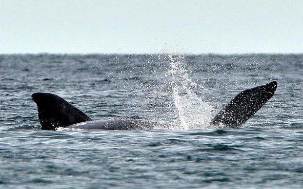 Calculan el peso de las ballenas francas con fotos de drones en Península Valdés