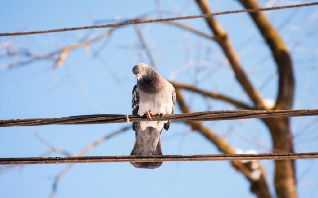 Sin soluciones para atenuar la proliferación de las palomas