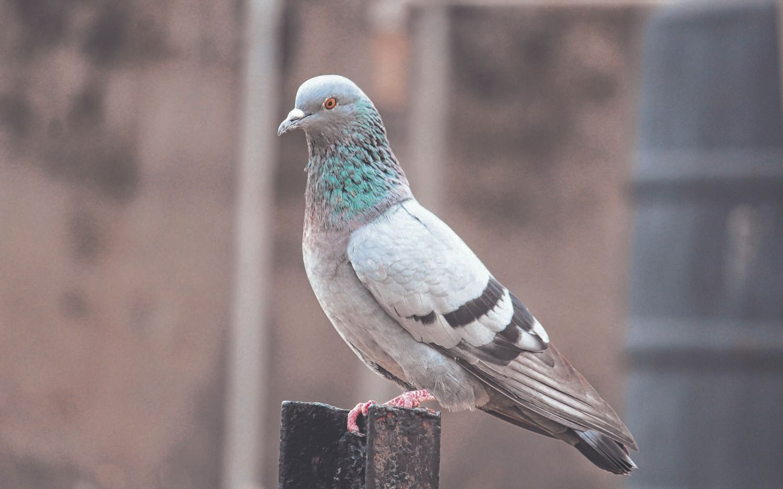 Las obras anti-palomas del Normal 1 siguen en veremos y prometen empezarlas en marzo